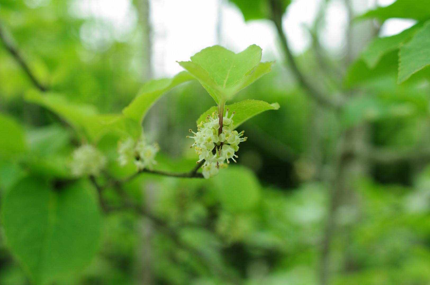 アオハダ 花