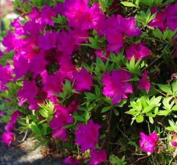 次々に咲いていきます|フイリタニウツギ チョウジソウ そしてバラ