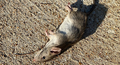 rodent%2520control%2520fort%2520worth_ed