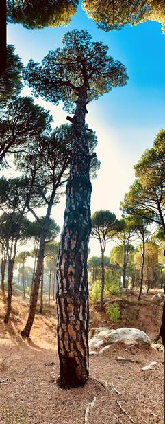Panoramic Tree