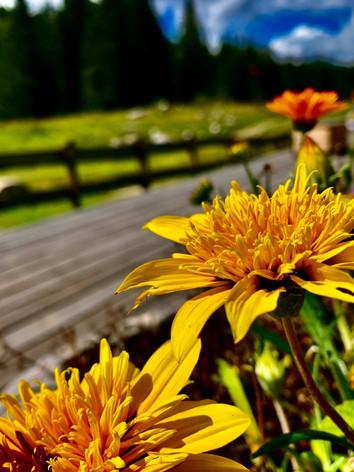 Yellow Mountain Flowers