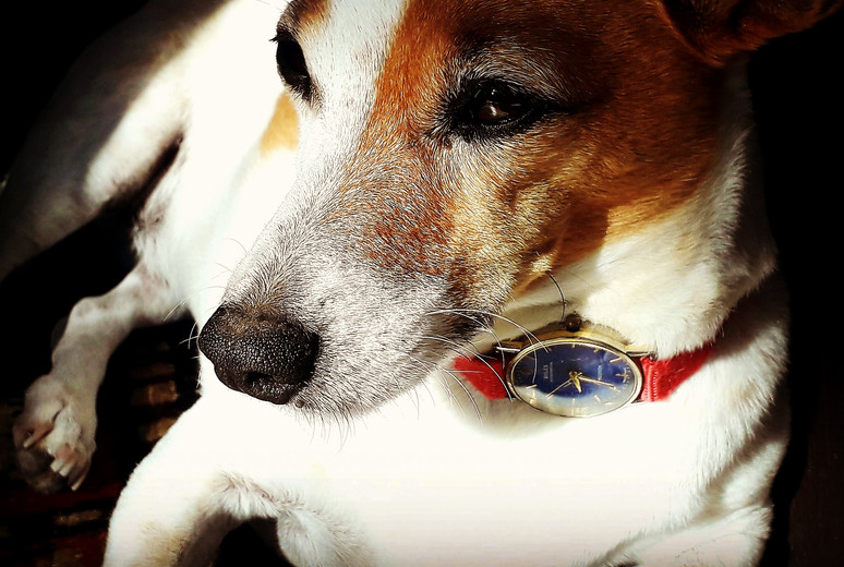 A friendly Russell Terrier