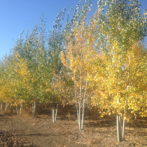 Quaking Aspen Multi-stem