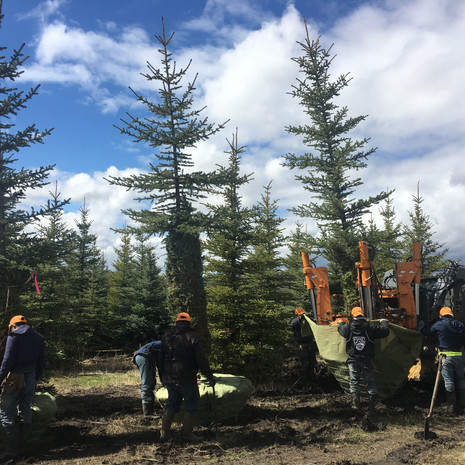Digging Blue Spruce Trees