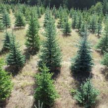 Blue Spruce (Orofino)