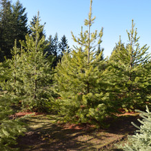 Lodgepole Pine (Orofino)