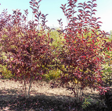 Canada Red Chokecherry Clumps