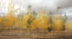 27-Quaking Aspen 2_edited.jpg