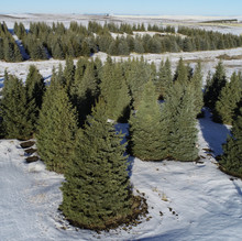Concolor Fir Field Overview