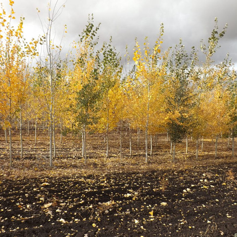 Quaking Aspen Overview