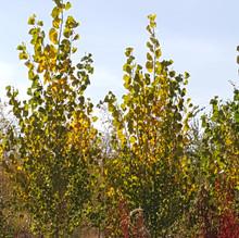Sundancer Poplars