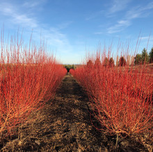 Flame Willows