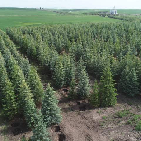 Blue Spruce Fields