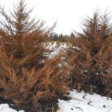 Red Cedar Juniper