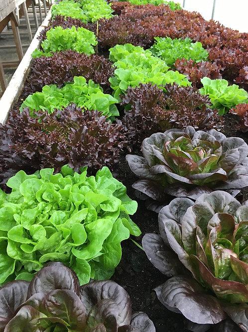 Wholesale Lettuce Mix