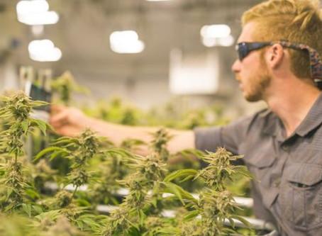 Como o uso de cannabis medicinal tem crescido no Brasil