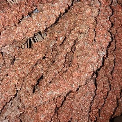 Kolbenhirse rot  - Lose 100 g