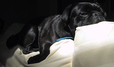 Snoozing pug
