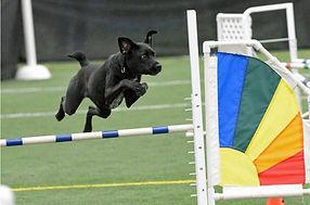 Agility dog taking a jump.