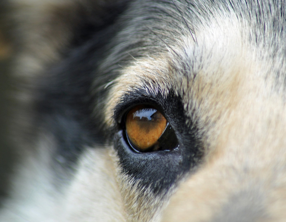 Dog's eye - always seeing, always learning - Private affordable dog training - northern Colorado