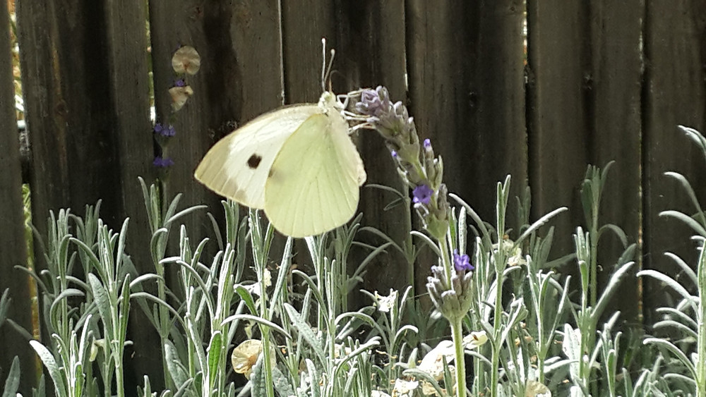 white butterfly on purple Lavender flower