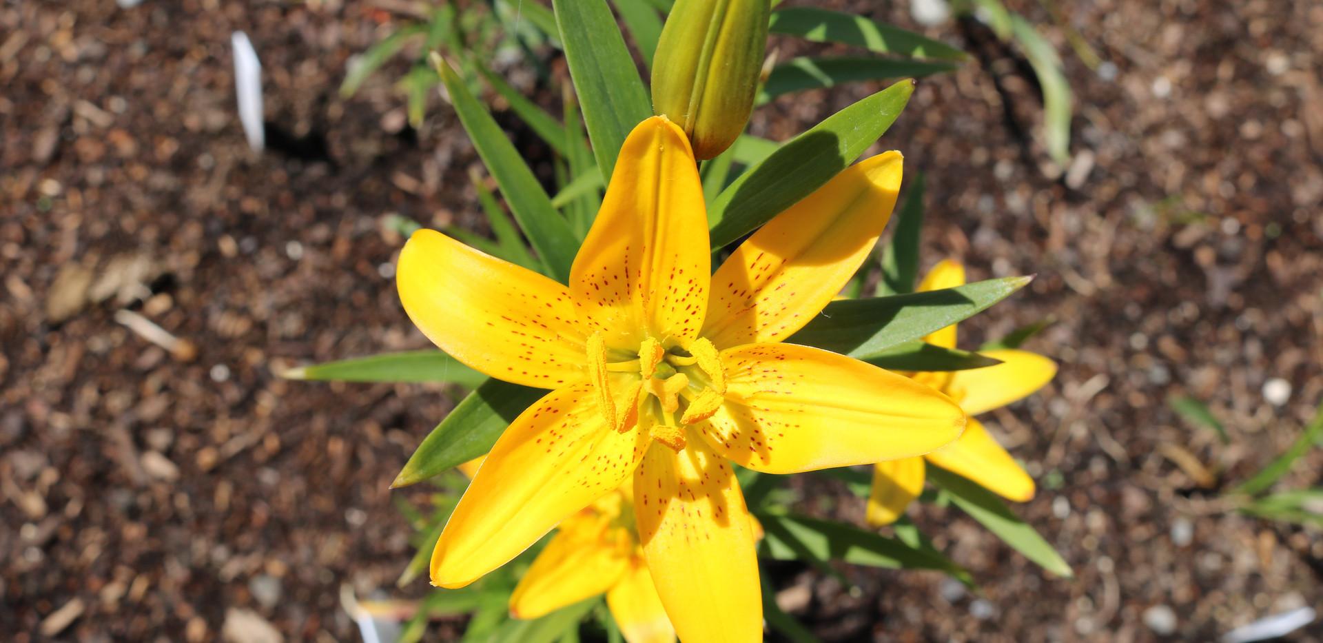 L. concolor var. luteum