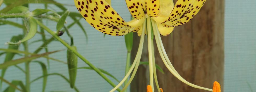 L. lancifolium var. flaviflorum
