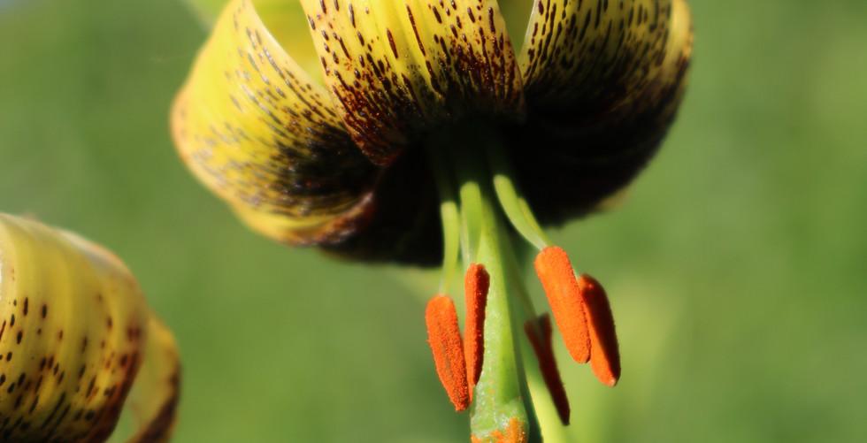 L. ciliatum