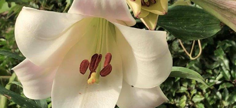 L. brownii var. australe