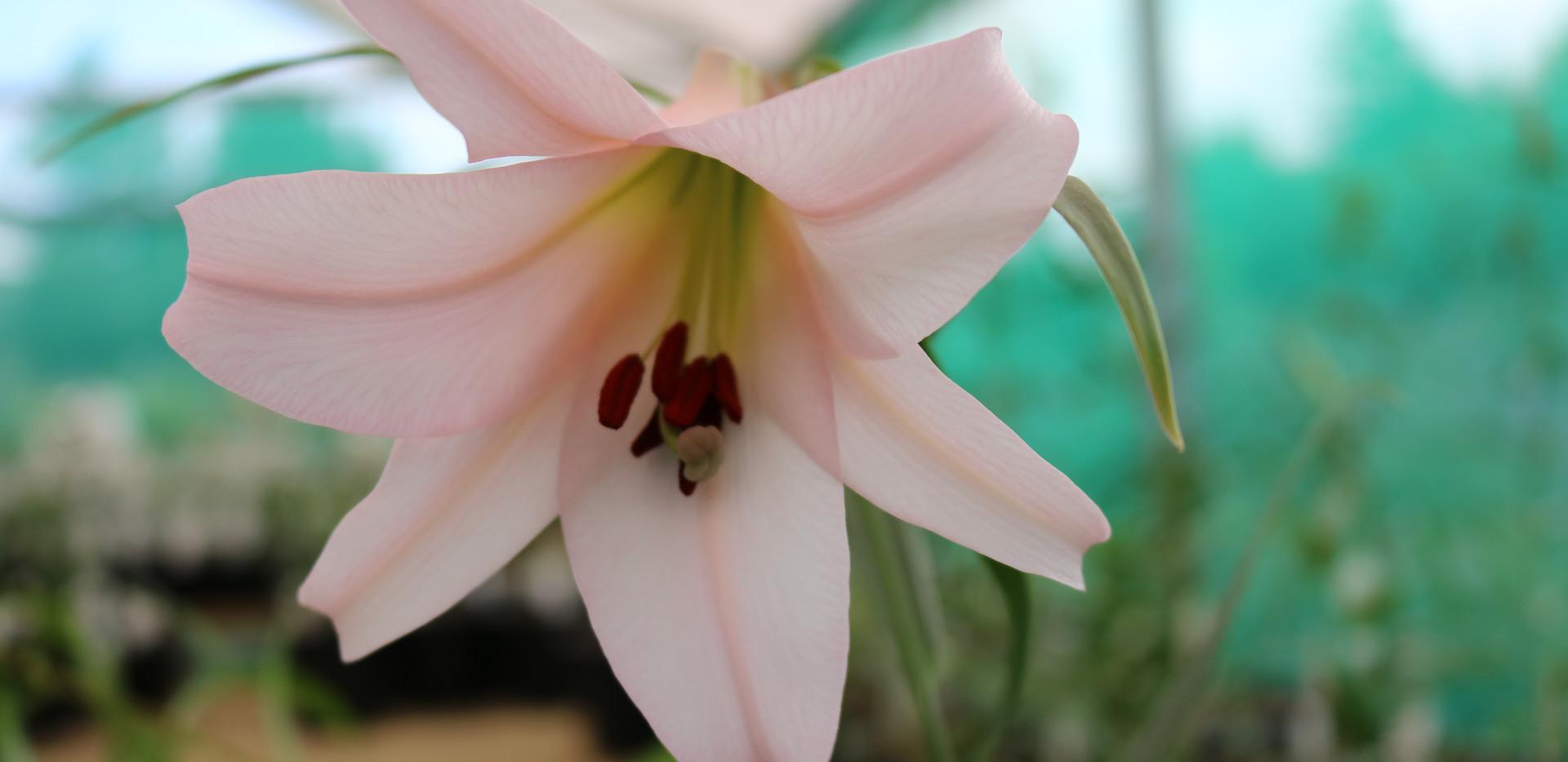 L. japonicum