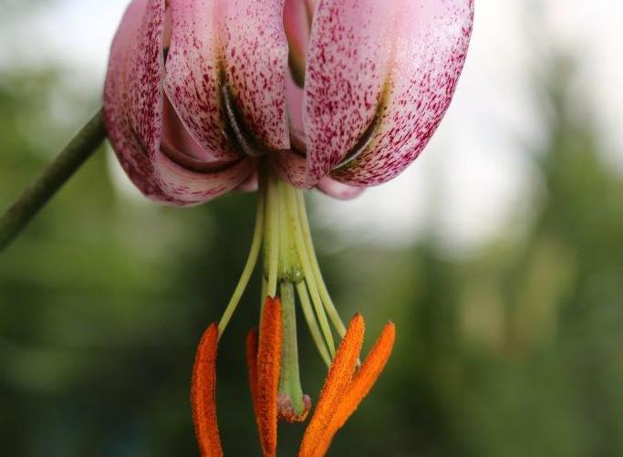 L. cernuum