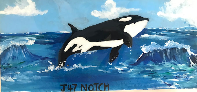 J47 Notch is the first child of Tahlequah (J-35) and was born in 2010. When he was young he was wounded and now has a large notch in his dorsal fin (which is where he got his name). Tahlequah gave birth to another orca in September of 2020 whose name is Phoenix (J-57). Notch has an Uncle Moby (J-44) and cousin Star (J-46) and is close with them because they were all born around the same time. In 2018, his mother gave birth to his sister who only lived for one hour which led to a long grieving time for these whales.