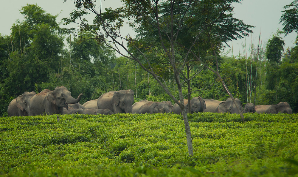 elephants in assam tea garden