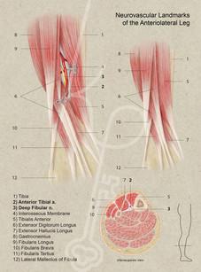 Neurovasculature Landmarks of the Anteriolateral Leg