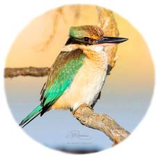 Scared Kingfisher
