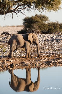 Namibia_Elefant_Etosha_01