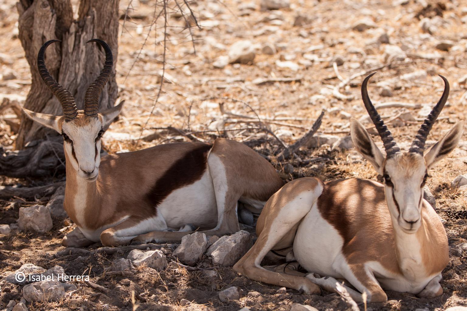 Namibia_Springbook_01