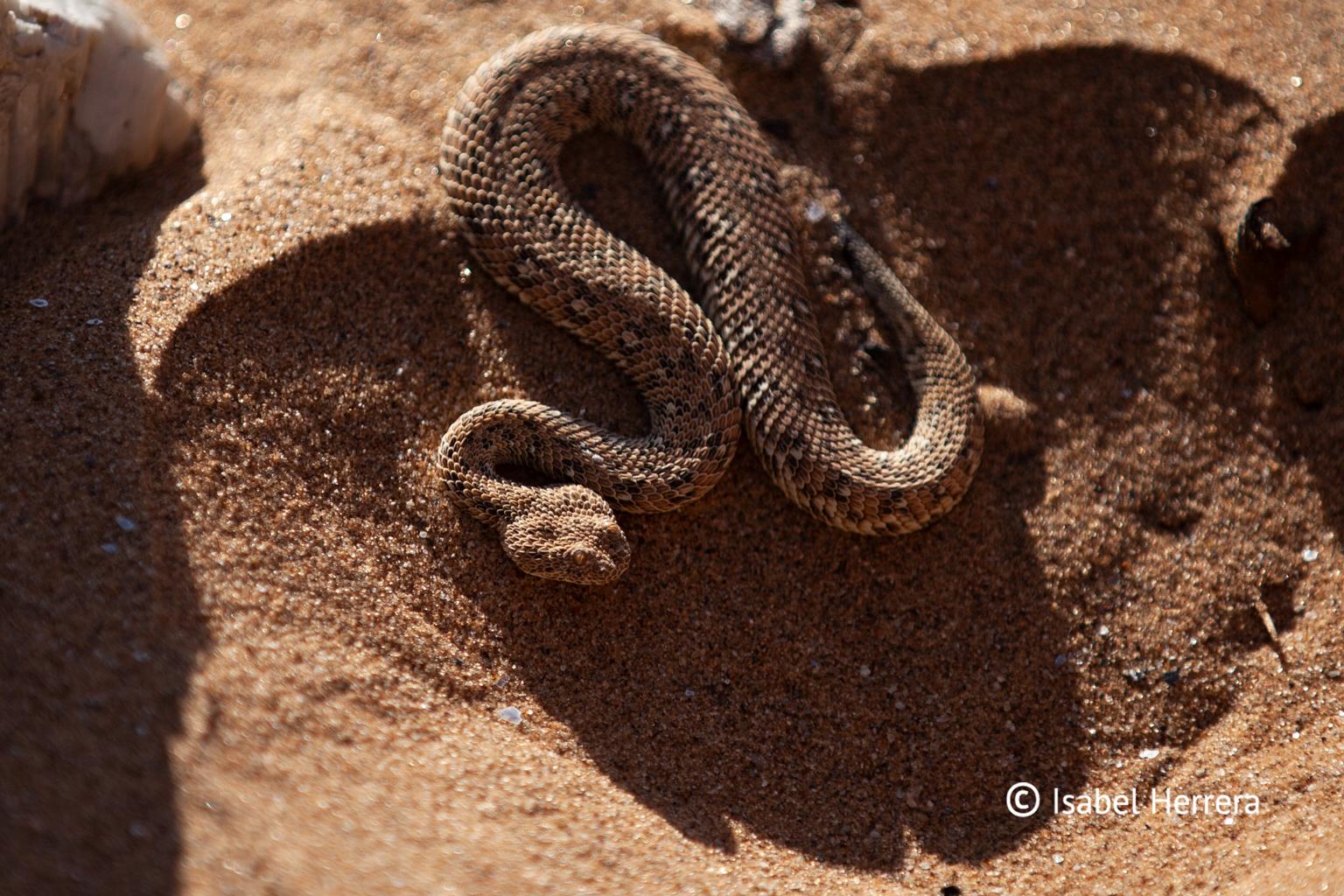 Namibia_Schlange_01
