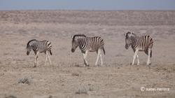 Namibia_Zebra_02