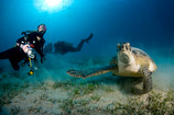 It's great to dive with turtles