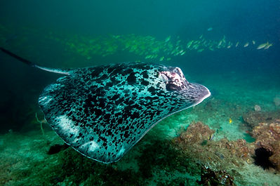 Blotched stingray in Zavorra, Mocambique