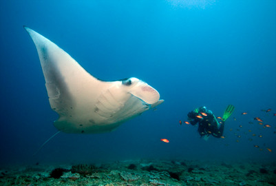 Manta ray in Tofo beach, Mocambique