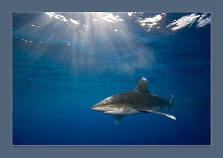 Oceanic white tip shark in the Egyptian Red Sea