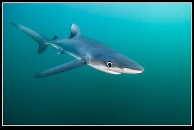 Blue shark in South African waters
