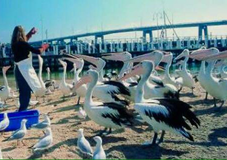 Feed the Pelicans at San Remo