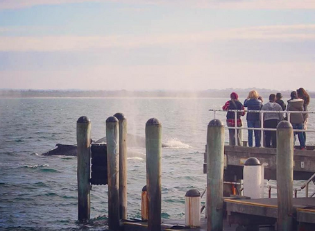 Humpback Whales Visit Cowes