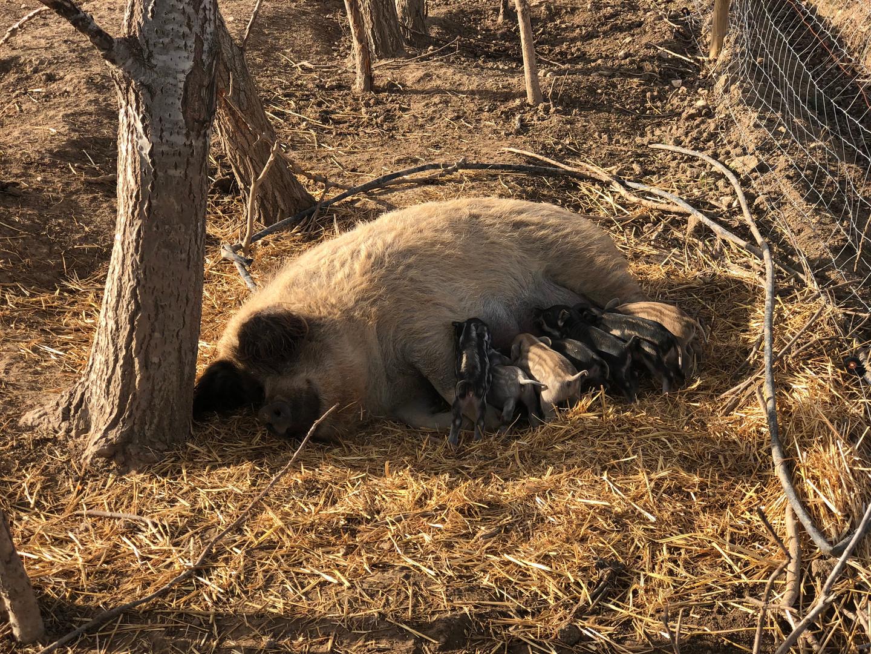 Élevage cochons laineux bio Aix