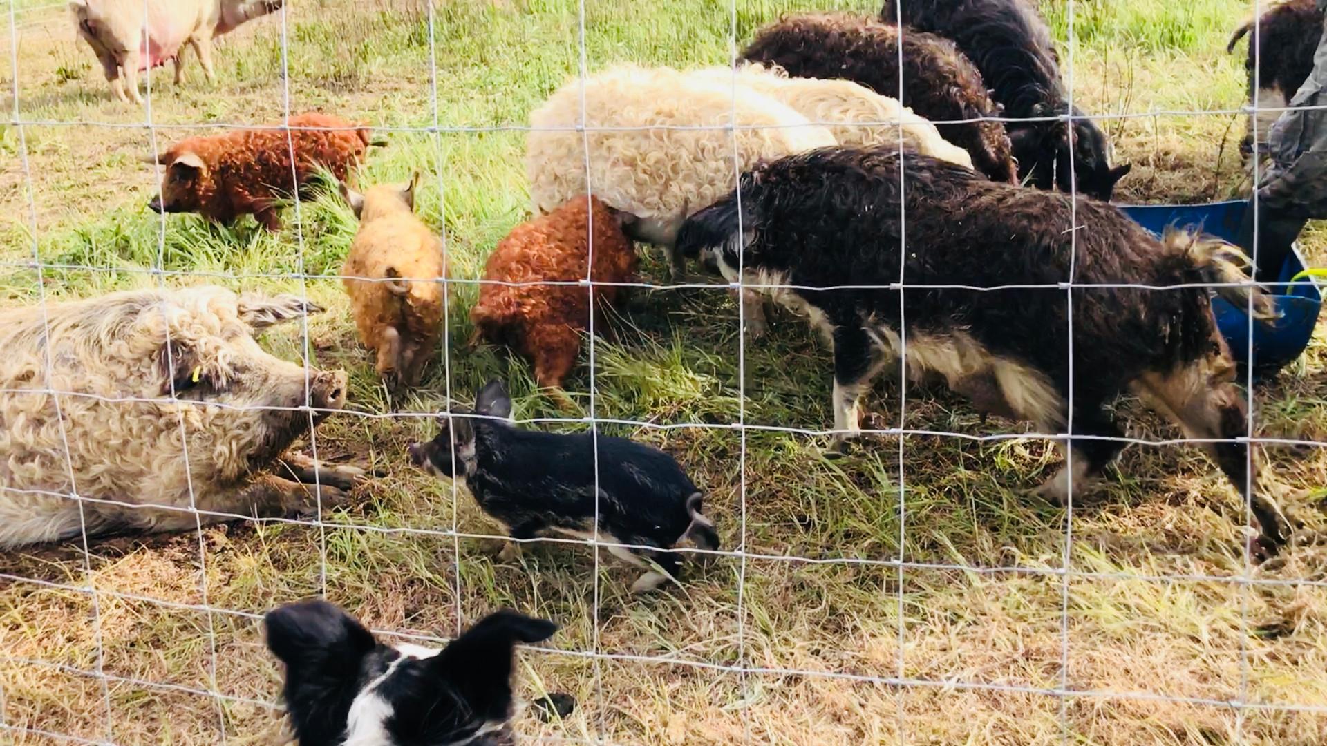 Élevage cochons laineux bio Mangalica Aix