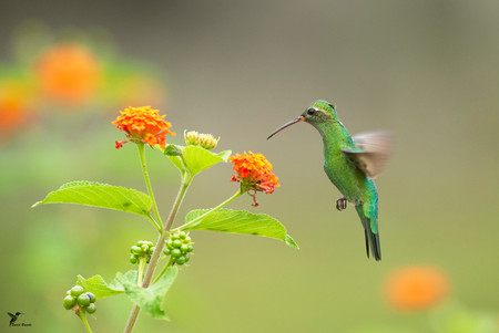 Colibri tout vert.jpg