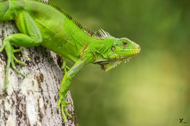 Iguane.jpg